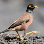 hawaiian culture/mynah